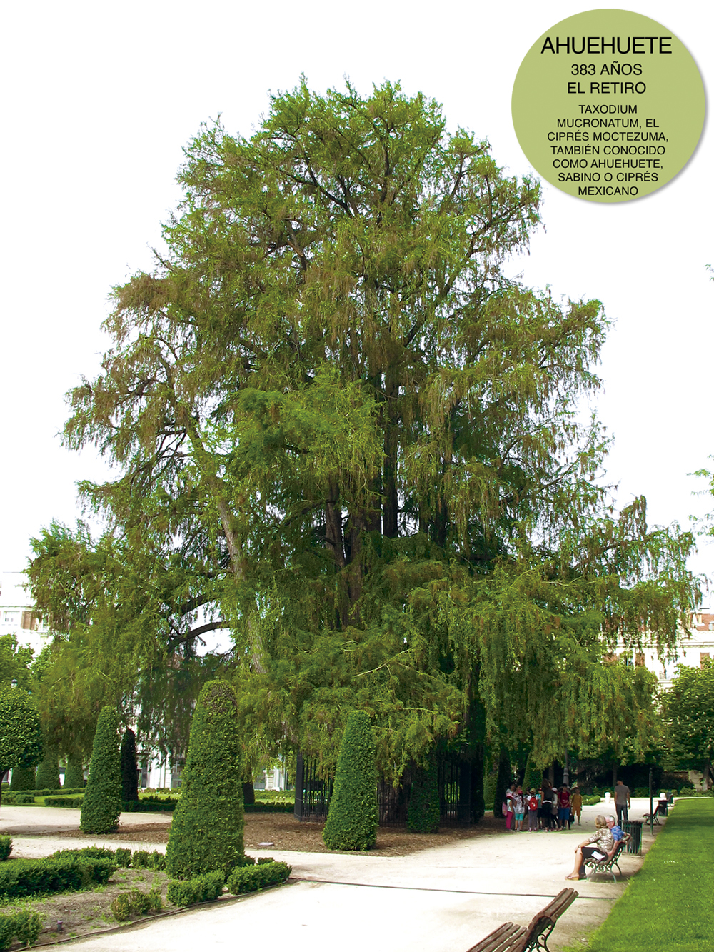 Ahuehuete Retiro marca 1 - Cinco árboles singulares de Madrid que tienes que conocer