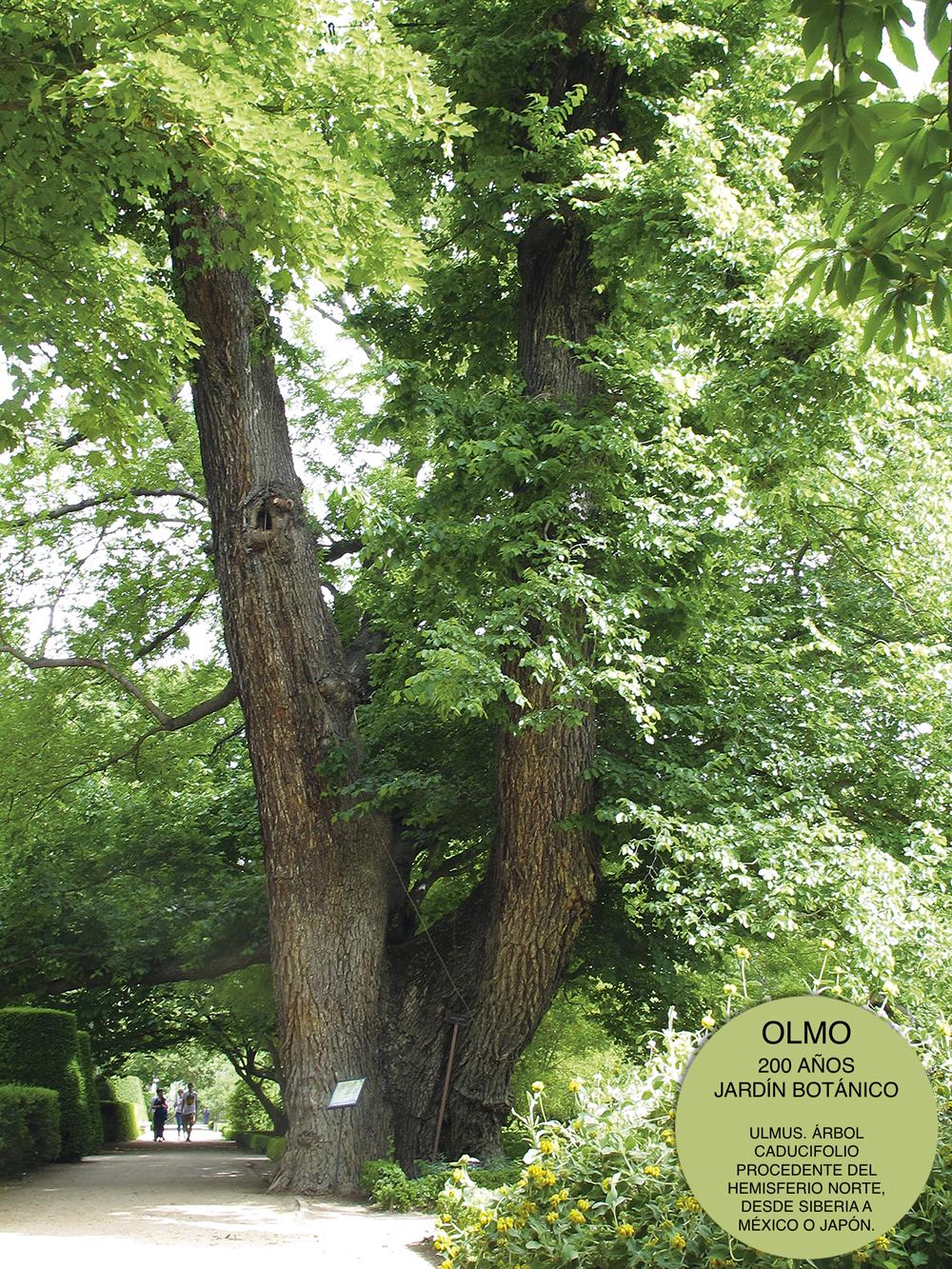 Olmo Pantalones Botanico Marca - Cinco árboles singulares de Madrid que tienes que conocer