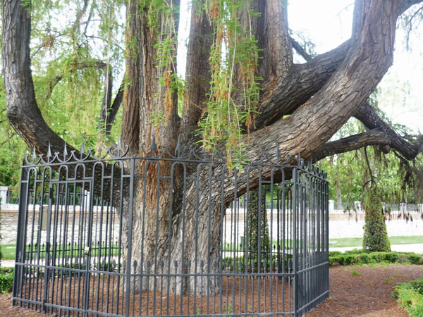 El árbol que resistió a Napoleón