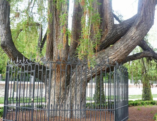 alahuehuete1 - El árbol que resistió a Napoleón
