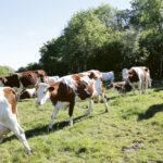 vacas 150x150 - Le fromage Comté : L'Héritage sacré d'un peuple solidaire