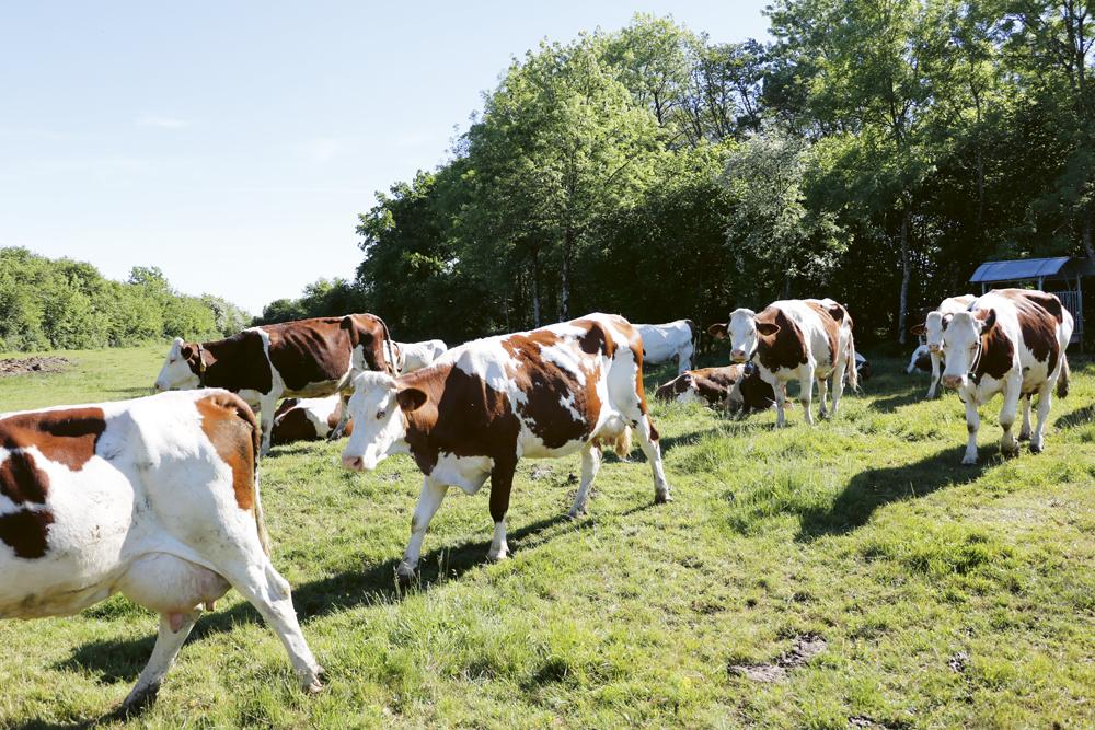 Vacas de raza Montbeliarde.