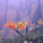 1743. Young rowan and misty forest Kuusamo 150x150 - Laponia finlandesa, donde la naturaleza muestra su estado más puro