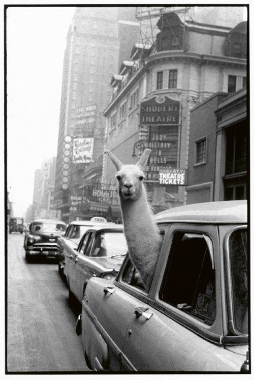 Una Llama en Times Square © Inge Morath. Magnum