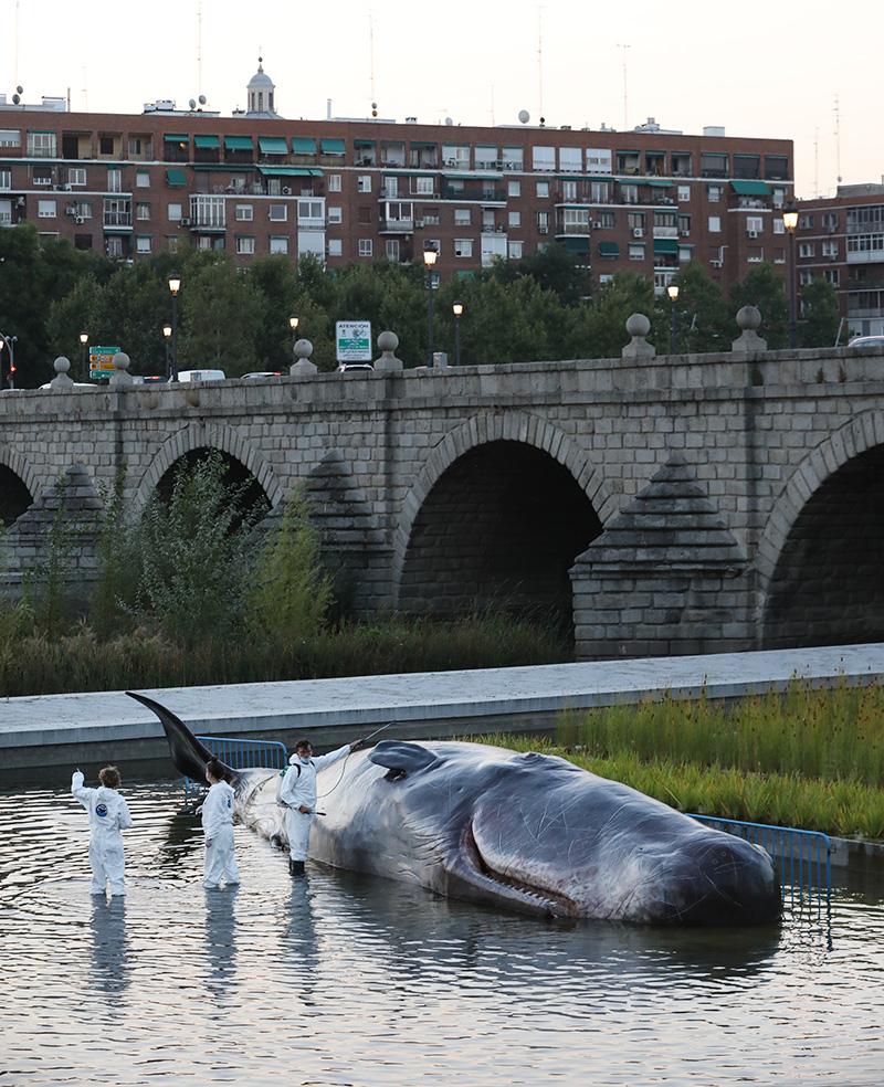 097A6890 - Aparece un cachalote en el Manzanares