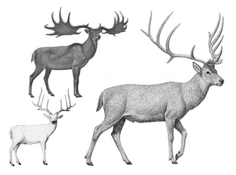 La exposición describe cómo era este ciervo y las características geológicas de las terrazas del río.