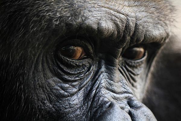 Gorila Paula Orduña - Las fotos enviadas al pianista James Rhodes se covierten en una exposición